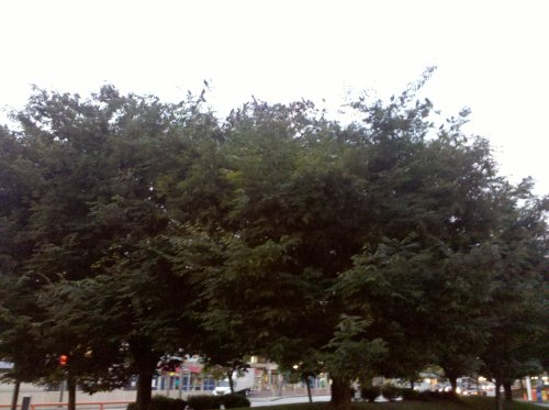 A picture of trees with a ton of birds in them.